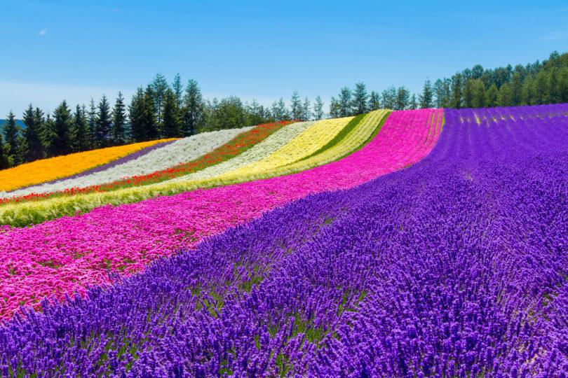 Flower Garden At Furano Edit